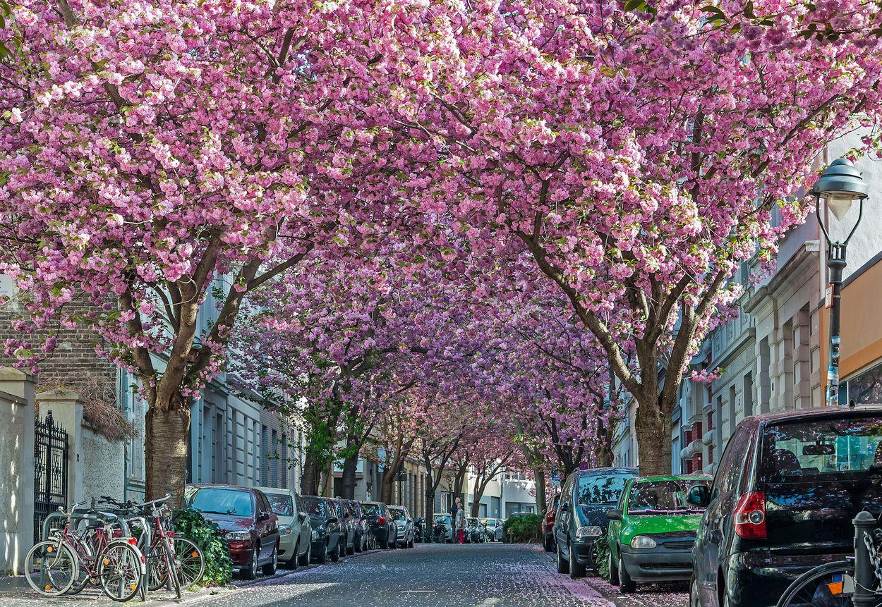 Bonn heerstrasse blossom sakura