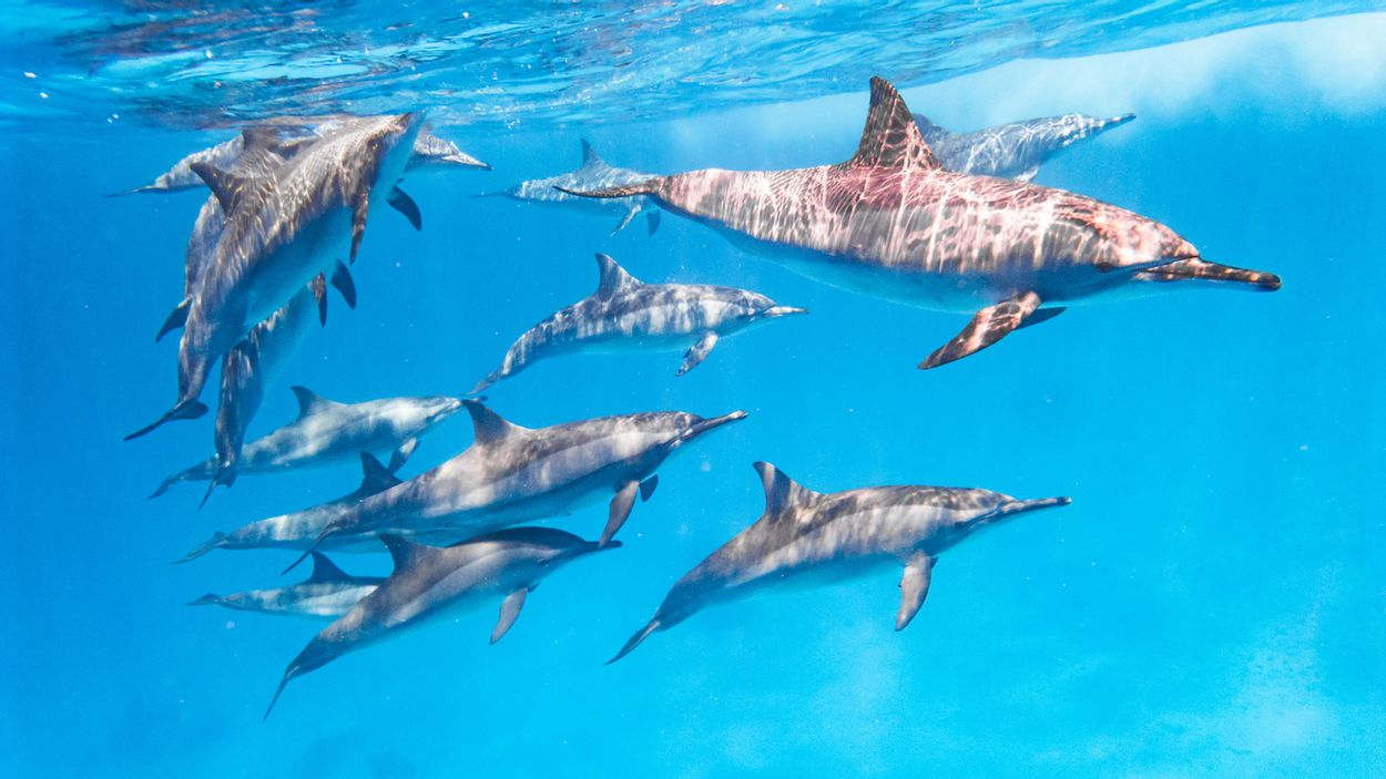 Dolfijnen rode zee egypte