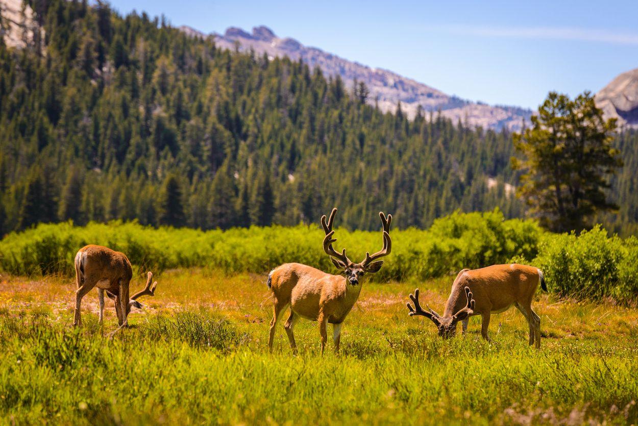 Afbeelding van Beren, herten en coyotes dwalen onverstoord door verlaten Yosemite