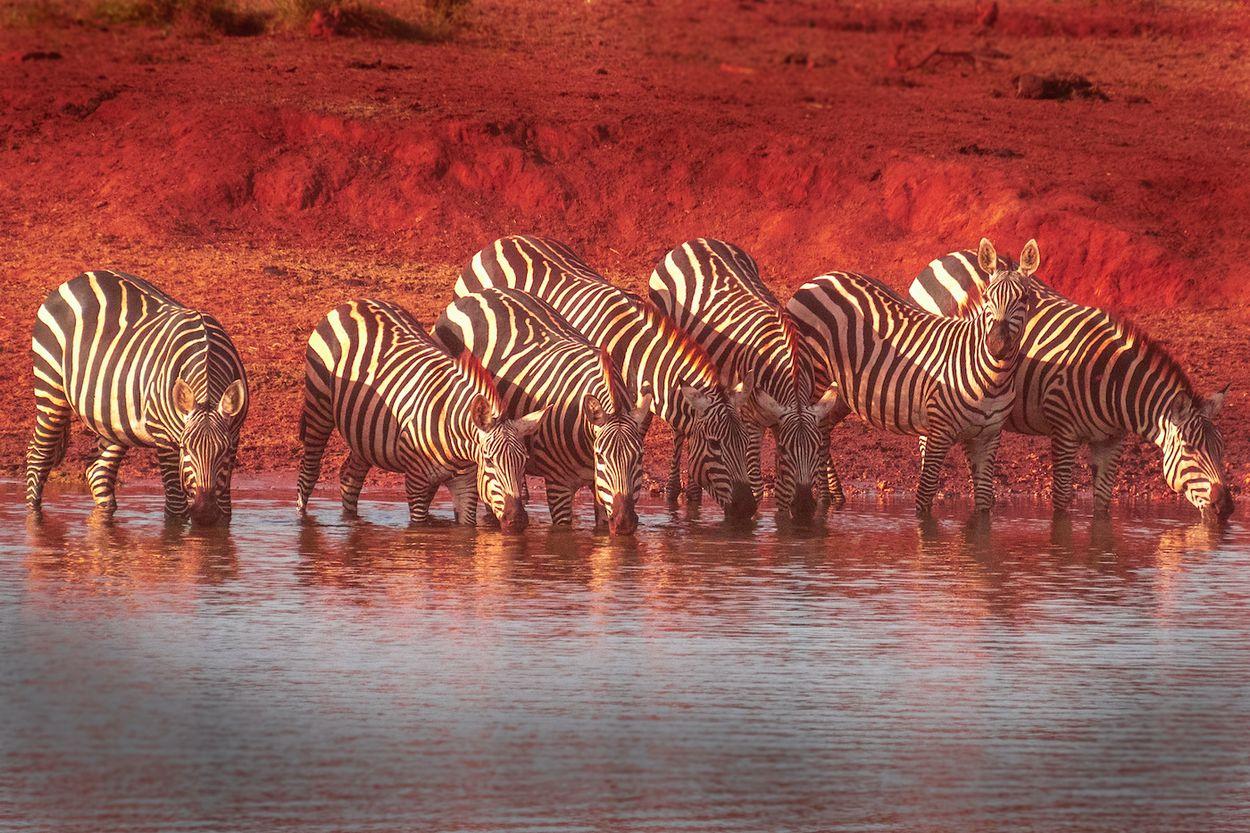Afbeelding van Wilde dieren in Keniaanse natuurparken worden noodgedwongen gestroopt