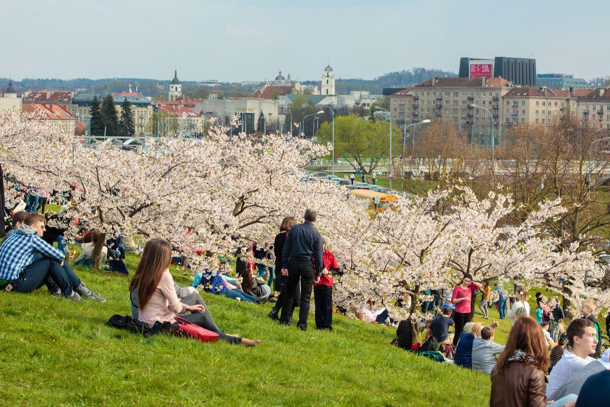 Vilnius Litouwen blossom sakura : Birute Vijeikiene