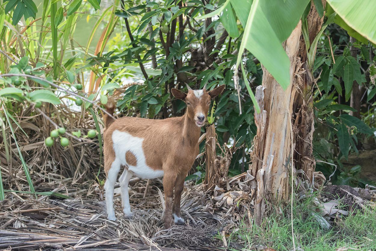 Goat Guadeloupe