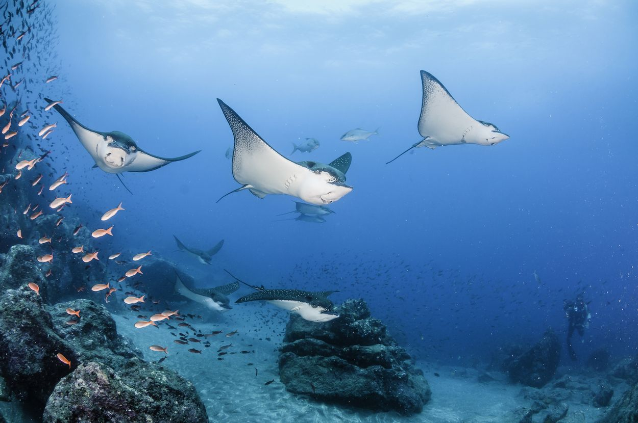 Mantaray rog ray Galápagos