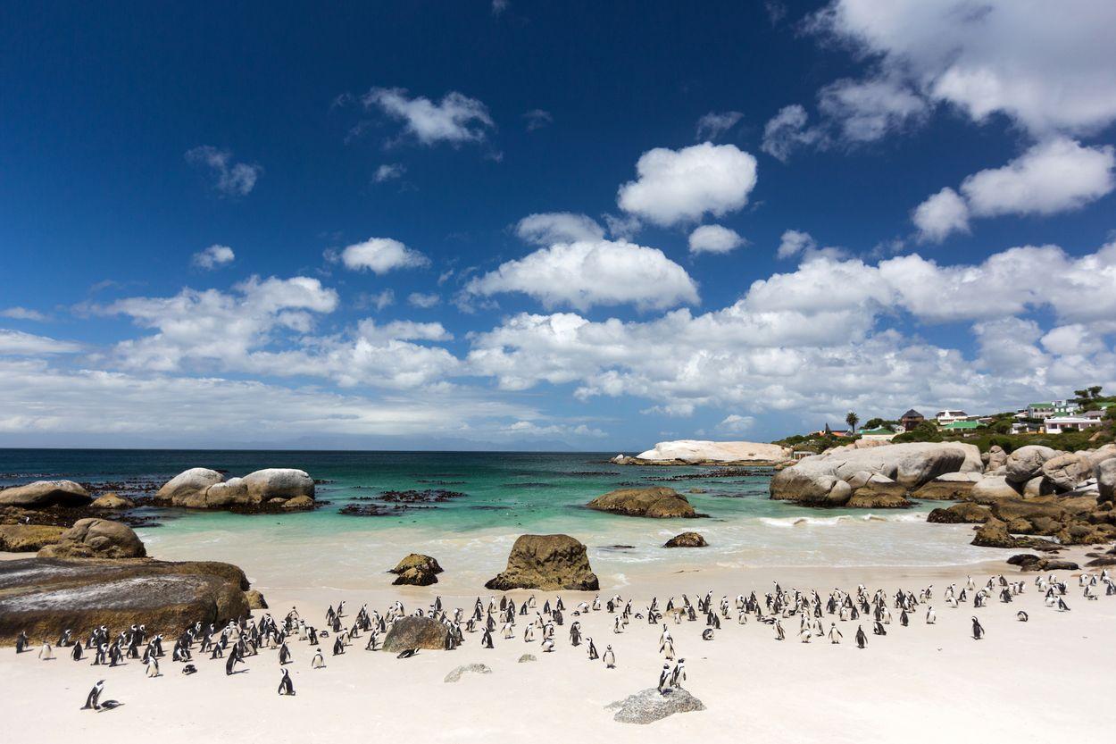 pinguïn kolonie