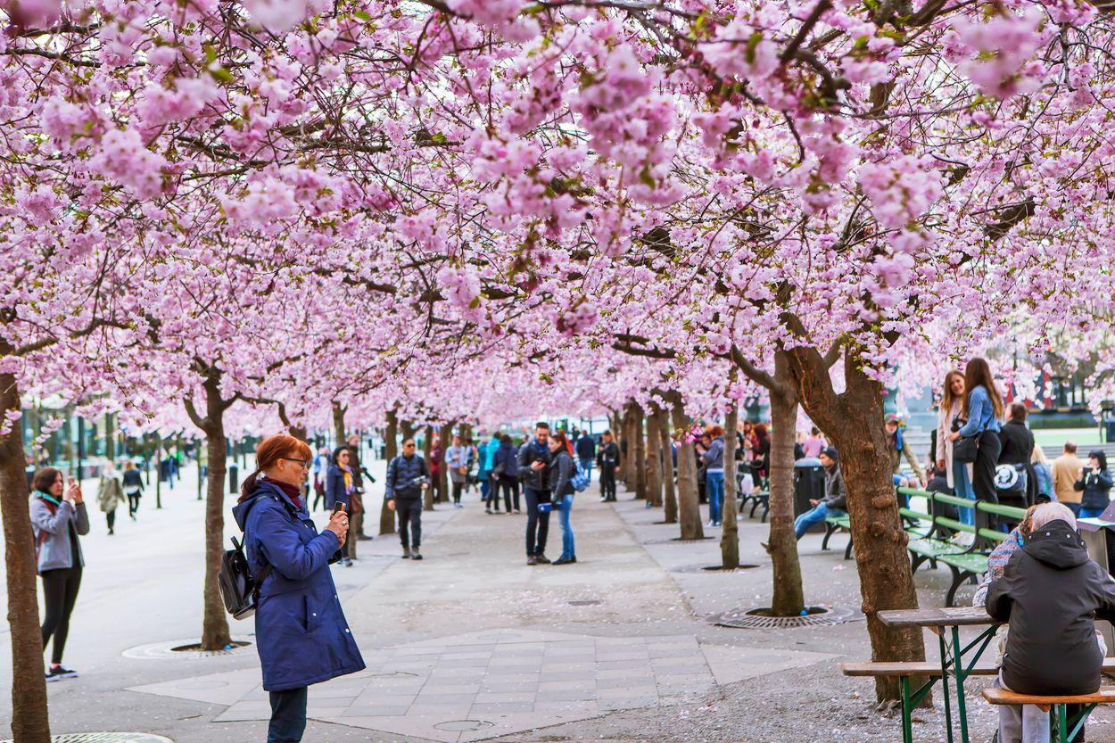 Stockholm bloesem sakura : Sergei Afanasev