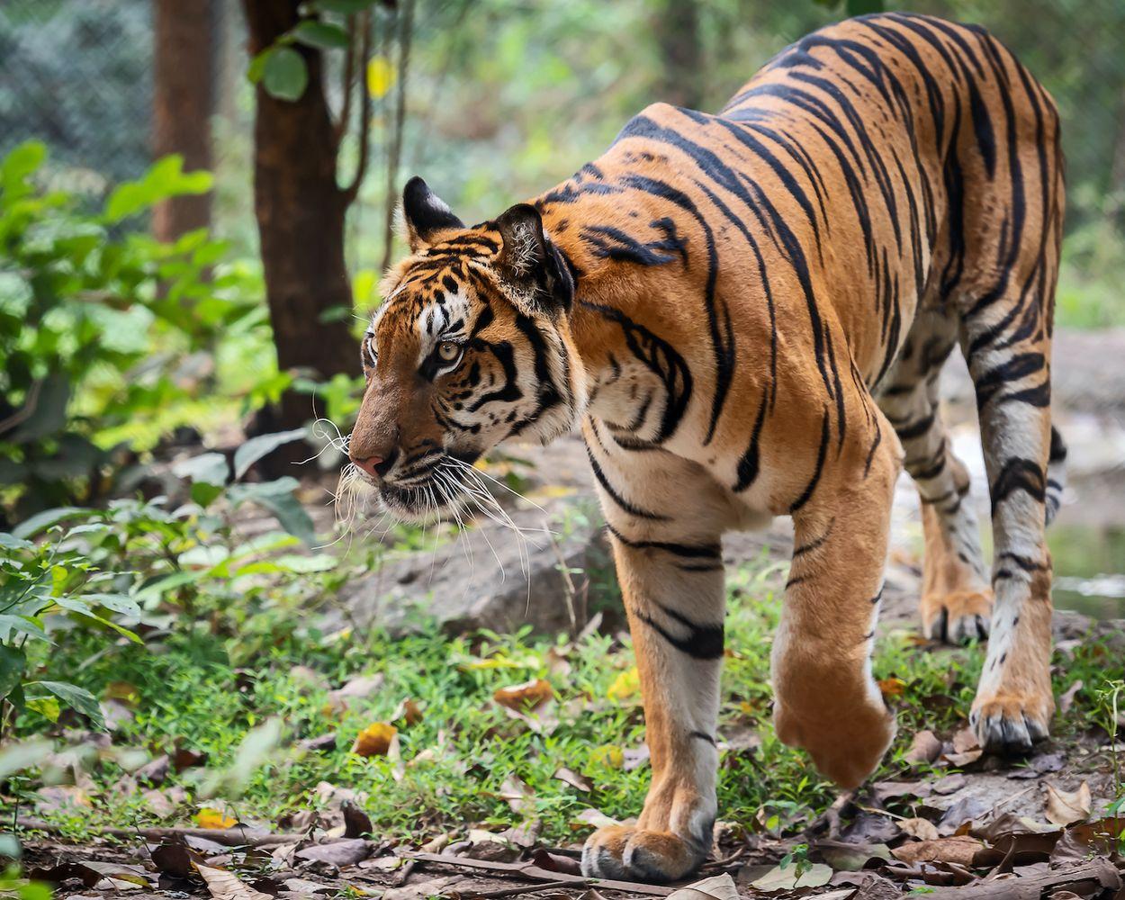 Afbeelding van Bedreigde tijgers trekken weer door Thailand