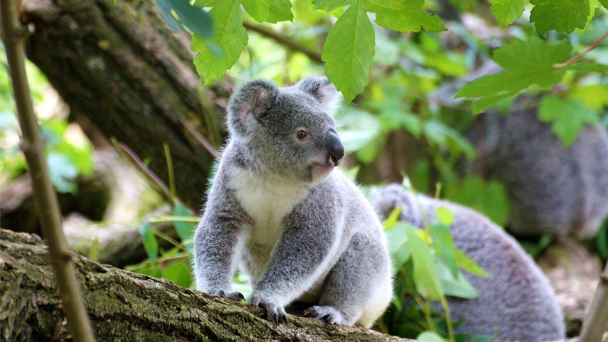 xlthumb_koala