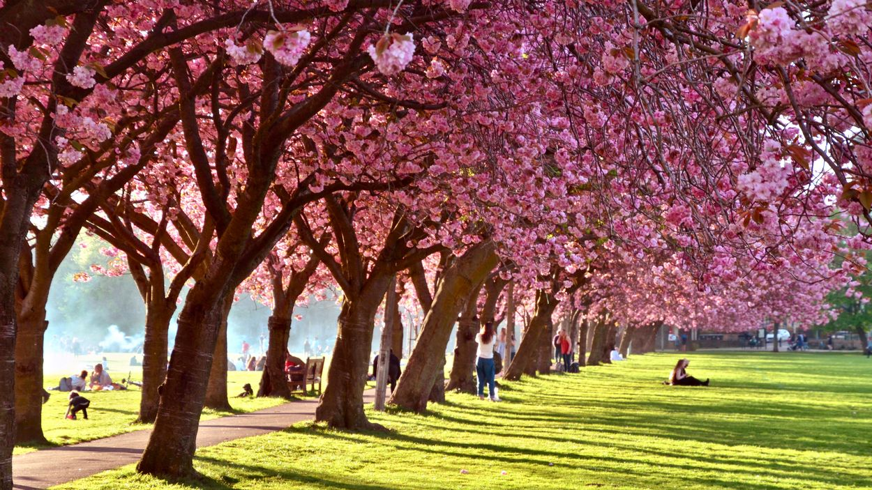 Edinburgh bloesem sakura : Lou Armor