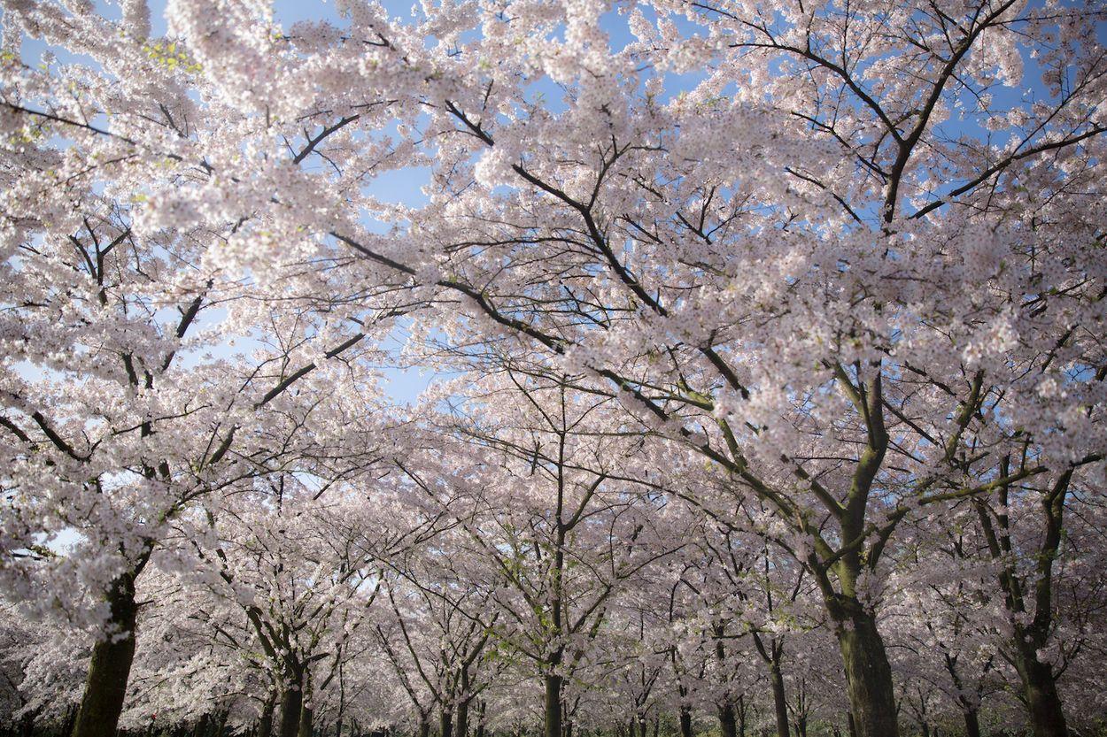 Amsterdam cherry blossom amsterdamse bos