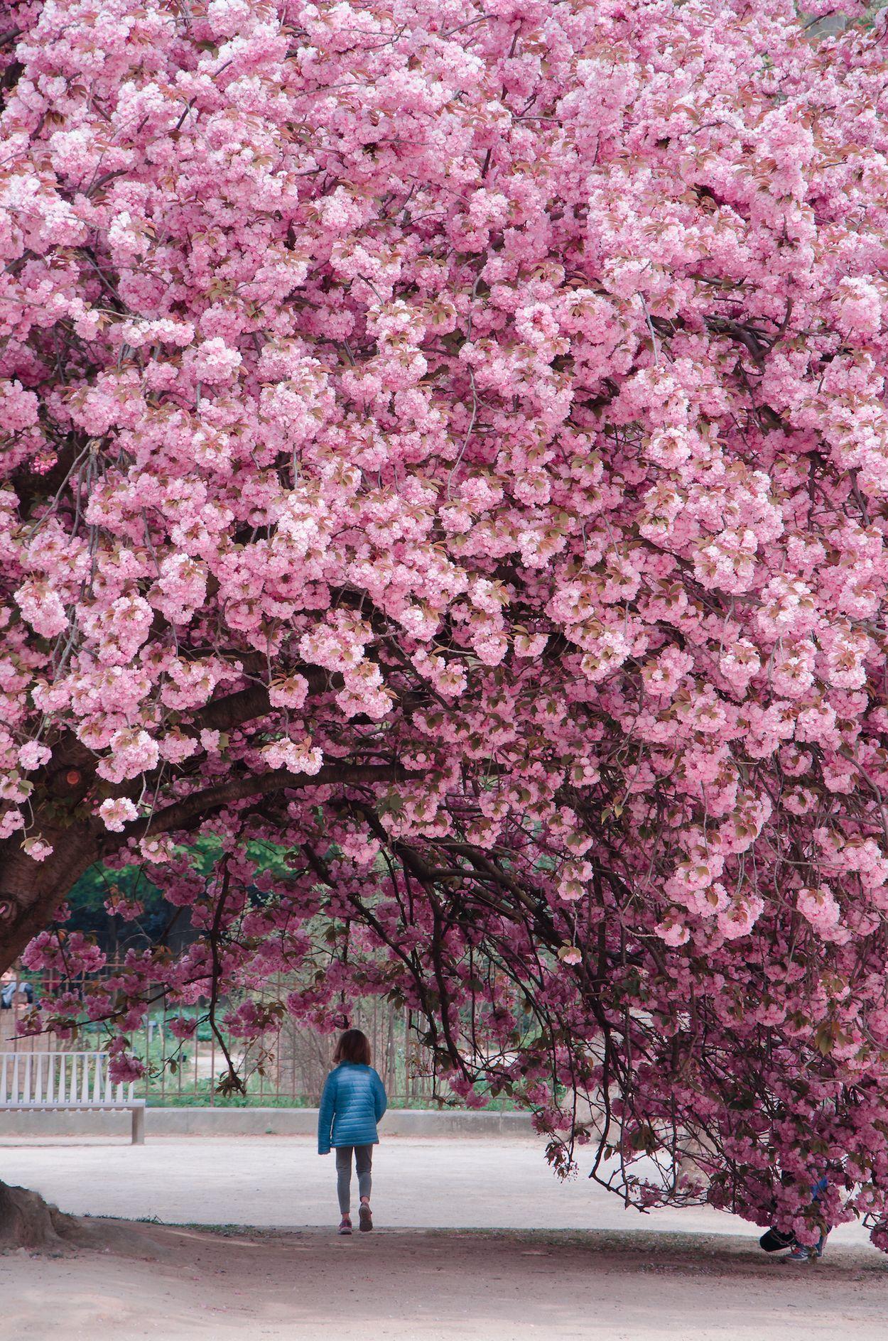 Jardin des plants Paris blossom sakura