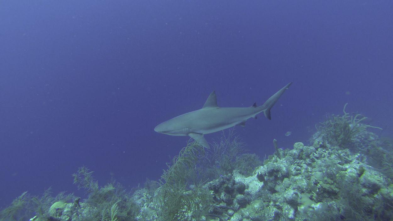Haai the Great blue hole Belize