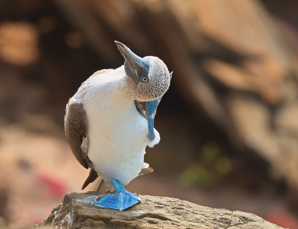 Blue boobie galapagos