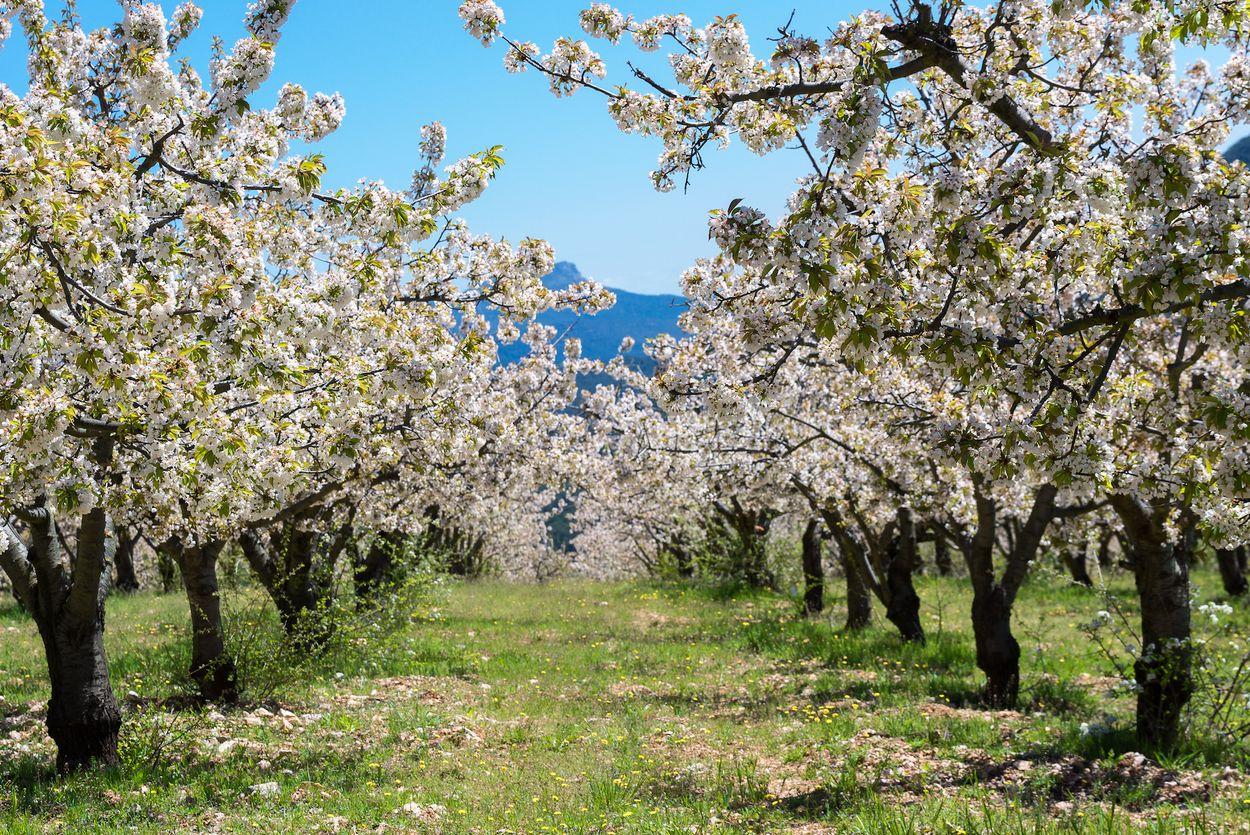 Jerte valley spain spanje blossom sakura