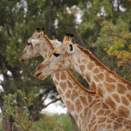 Afbeelding van Moremi National Park