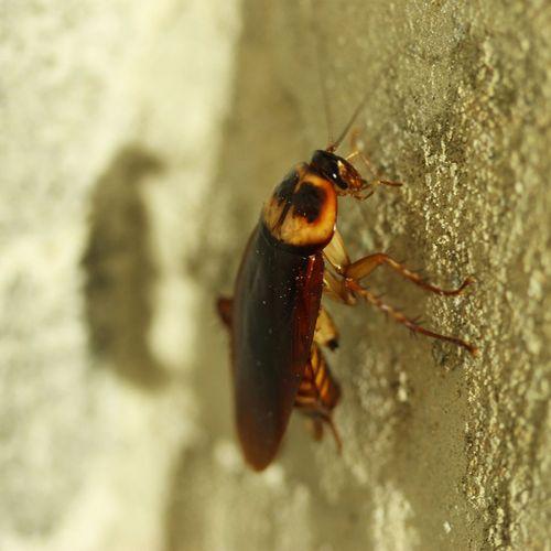 Afbeelding van Kakkerlakken op reis: zó bestrijd je deze krioelende insecten