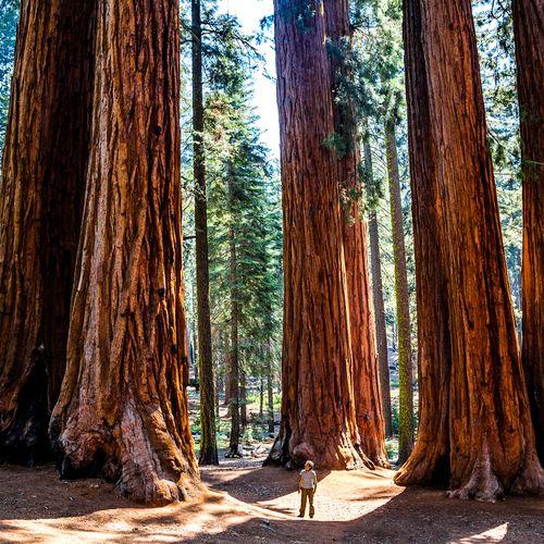 Afbeelding van Mammoetbomen overleven de bosbranden in Californië