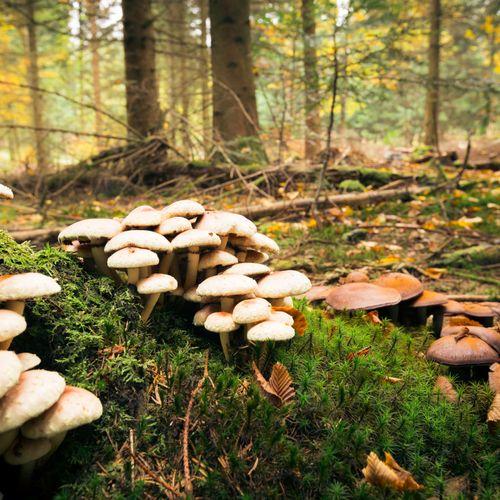 Afbeelding van Eetbare paddenstoelen op Nederlandse bodem