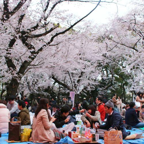 Afbeelding van How to hanami: jouw gids voor het Japanse sakura-seizoen